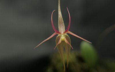 Orquídea Miniatura: Lepanthes calimae P.Ortiz
